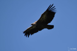 camping les Prades gorges du tarn vautours